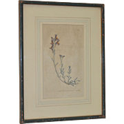 18th Century Hand Colored Botanical Engraving