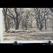 REDUCED Bayard Wootten Grazing Sheep Signed Silver Gelatin Photograph