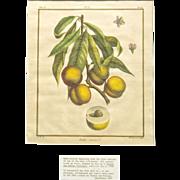 """1768 Duhamel du Monceau's """"Traite des Arbres Fruitiers Hand-Colored Peach Engraving"""