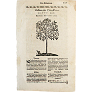REDUCED 17th C Woodcut Botanical Engraving by Mattioli China Tree Xilograph