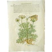 REDUCED 17th C Woodcut Botanical Engraving by Mattioli Visnaga Toothpickweed Xilograph