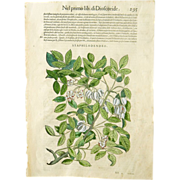 17th C Woodcut Botanical Engraving by Mattioli Staphilodendro Xilograph