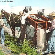 1915 Black Americana Occupational Postcard Potato Sorter & Sacker