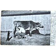 SOLD 1907 Real Photo Postcard Milking Cow & Sharing with Cat