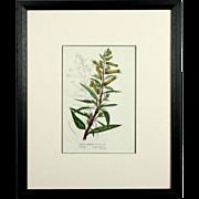 Original Circa 1850 Hand Colored Botanical Lithograph by Louis Van Houtte