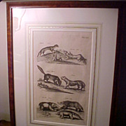 """Framed Antique Copperplate Engraving """"Tunneling Mammals"""" 1660 Amsterdam"""