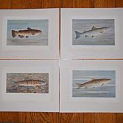 SALE 4 WB Gillette Fish Art Prints Trout Salmon Bullhead Chub
