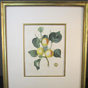 19th Century Hand Colored Fruit Print by Mrs. Augusta Withers