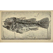 SALE Blue Fossilized Fish