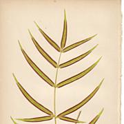 SALE Lowe Fern Print- Pteris Cretica