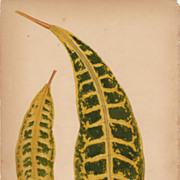 Lowe Beautiful Leaved Plants Botanical Print- Croton