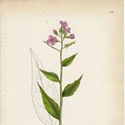 Sowerby Botanical Print- CIII