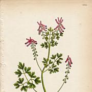 Sowerby Botanical Print- LXXII2