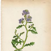 SALE Sowerby Botanical Print- LXXIX