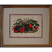 Botanical Lithograph Mammoth Strawberries  Van Houtte / Stroobant - c. 1850, Belgium