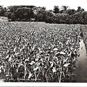 Real Photo Postcard of Taro Field in the Hawaiian Islands