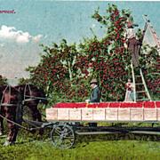 Occupational Postcard of Apple Harvest