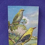 Early 1900's Eurasian Golden Oriole Postcard