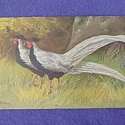 Early 1900's Fancy Pheasants Postcard