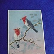 Early 1900's Gray Cardinal Postcard