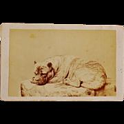 SOLD CDV Photograph Recumbent Dog