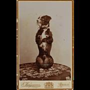 SOLD CDV Photograph ~ Begging Dog