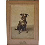 SOLD Antique Cabinet Dog Photograph ~ Pit Bull Staffordshire Terrier With Bow