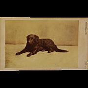 Antique CDV Dog Photograph ~ Curly Retriever