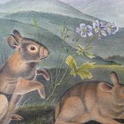 Audubon Quadruped Octavo Nuttall's Hare Rabbit 1ST Edition Plate #94 1851