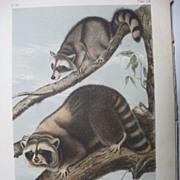 SOLD Audubon Quadruped Octavo Raccoon 1851 Antique Print 19th C Stone Lithograph