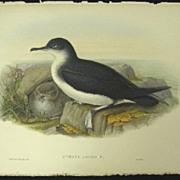 John Gould Hand Colored Lithograph Antique Print Manx Shearwater Bird 1862