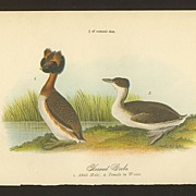 Audubon Bird Print - 1888 Color Litho of Horned Grebe