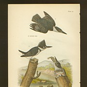 Audubon Bird Print - 1888 Color Litho of Belted Kingfisher