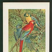 Parrot Print - Macaws by J.G. Keulemans - Circa 1900