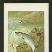 Leaping Salmon Chromolithograph Print - P. J. Smit - Circa 1900