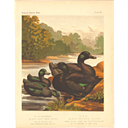 Cassell's Poultry Print - East Indian & Cayuga Black Ducks