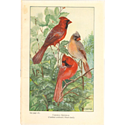 Nellie Pairpoint Color Print - Cardinals