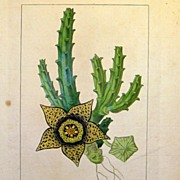 SALE PENDING Antique French Botanical Print by Pancrace Bessa