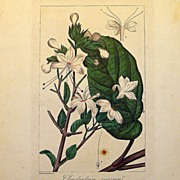 Antique French Botanical Print by Bittermann
