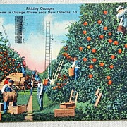 REDUCED 1947 Postcard Picking Oranges Near New Orleans