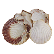 Natural Sea Scallop Shells for Baking  Large  Set of 10