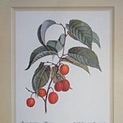 Botanical Print Cherry Branch