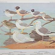 Bird Portrait Brooks Gull