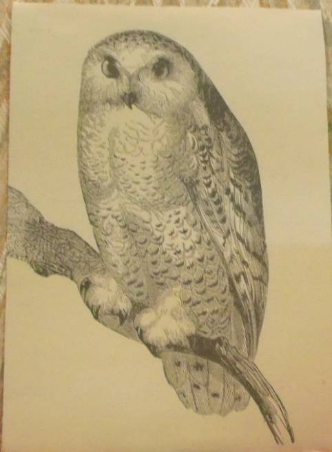 Owl Art in Pen and Ink
