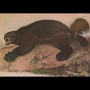 Antique 19th century John James Audubon Large Folio Hand Colored Lithograph Wolverine Philadel