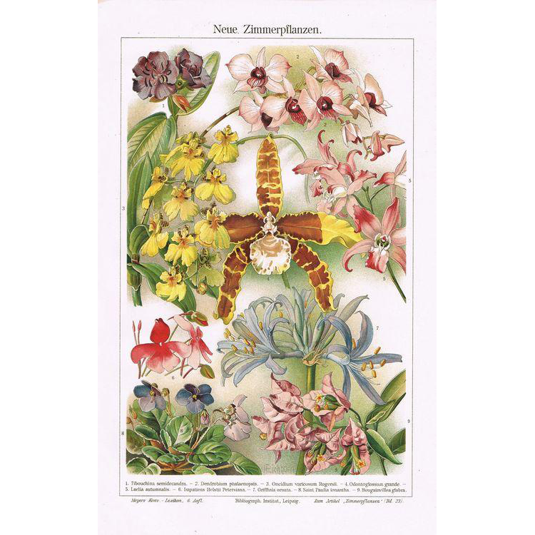 Orchids Lithograph from 1898