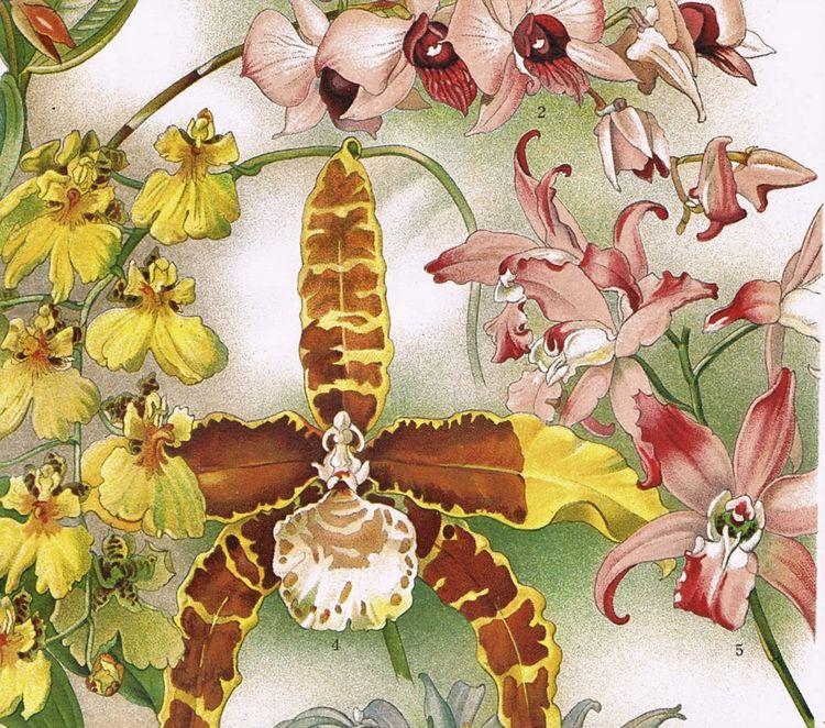 Orchids Fine Chromo Lithograph
