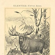 Moose: Antique Lithograph 1898