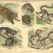 Half-and-half Apes: Antique, tinted Etching, 1892