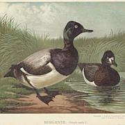 Broadbills, Ducks. Chromo Lithograph ca. 1910. Matted